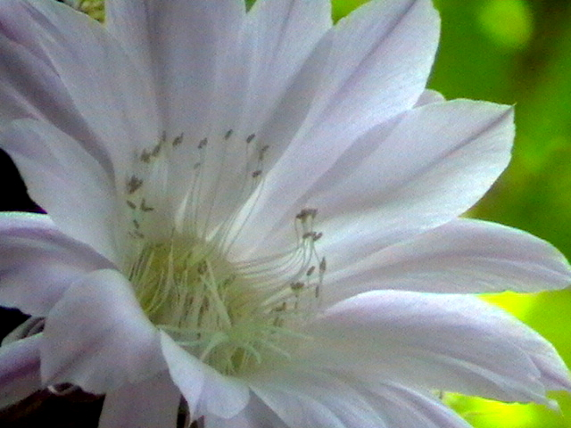 кактус квітка