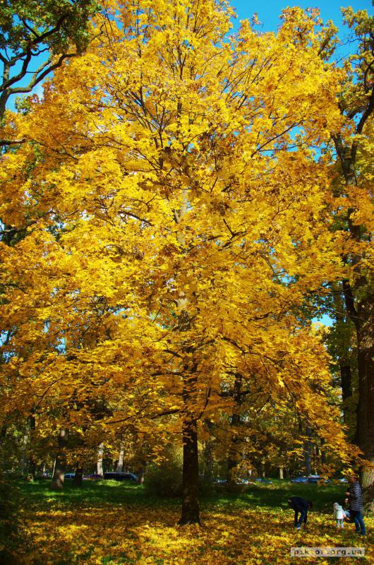 Золоте дерево