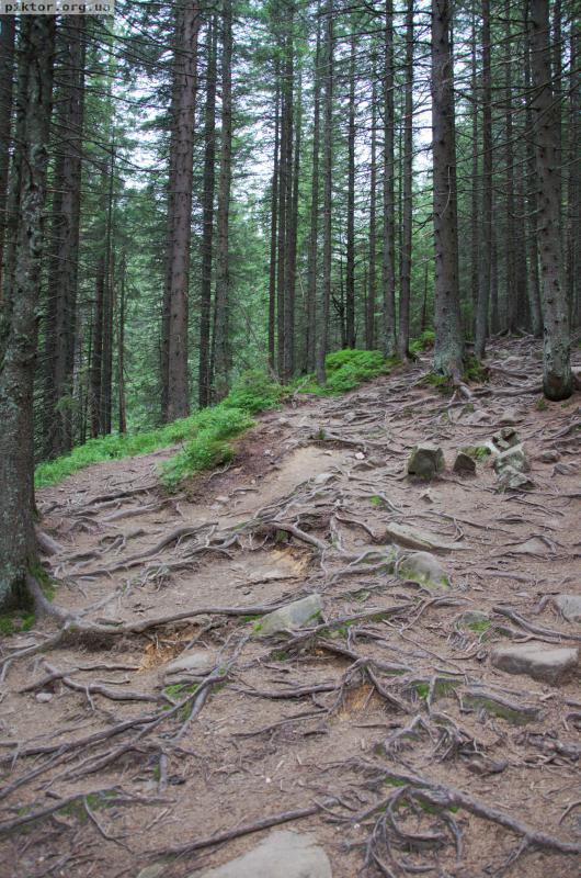 Ліс під Говерлою
