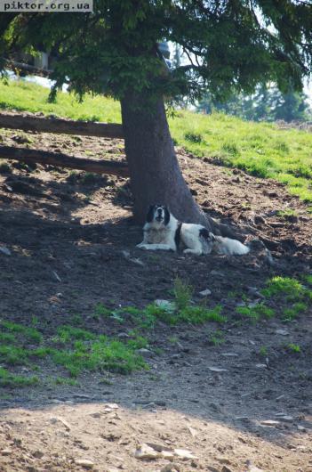 Великий собака на полонині