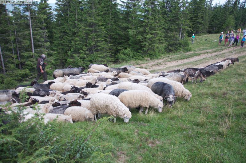 Отара овець