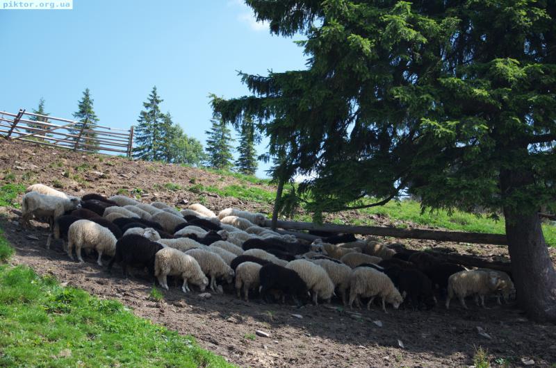Вівці під деревом