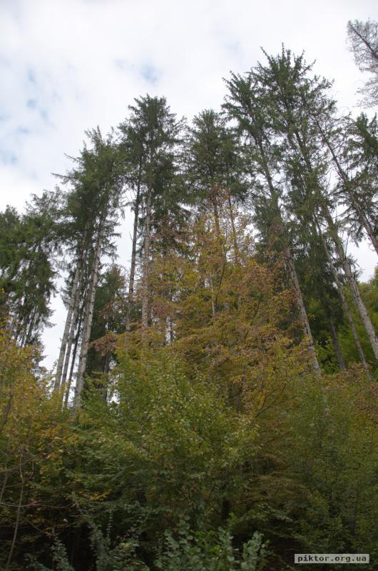 Високі дерева