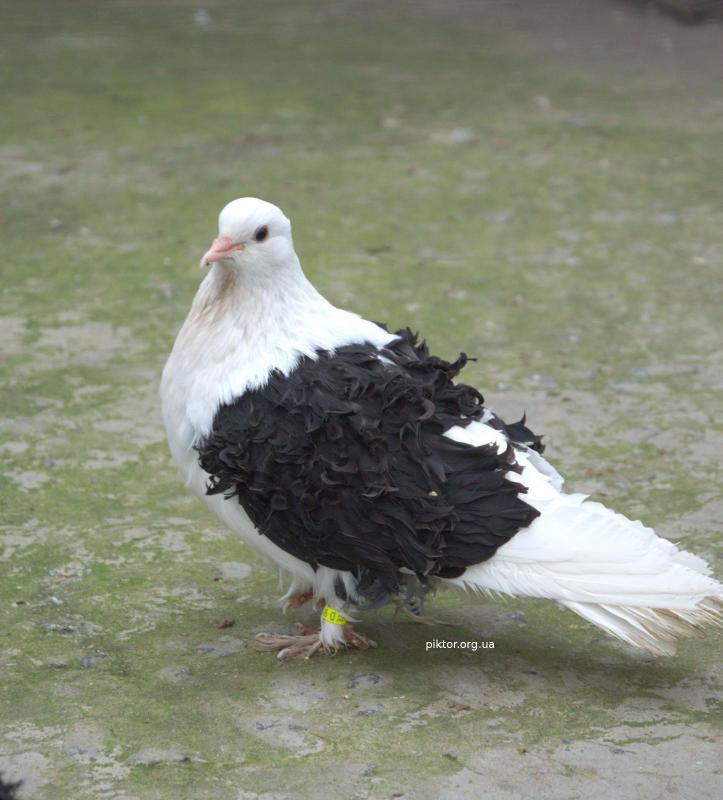 Монохромний голуб