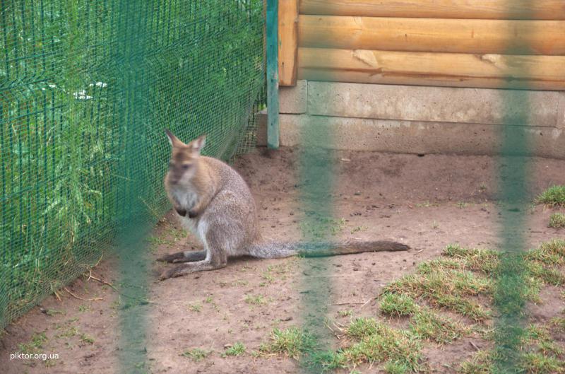 Карликовий кенгуру