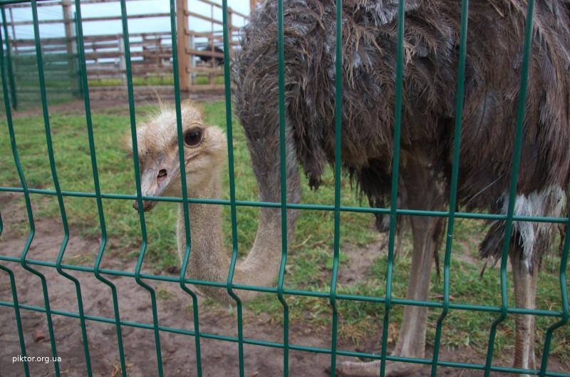 цікавий страус