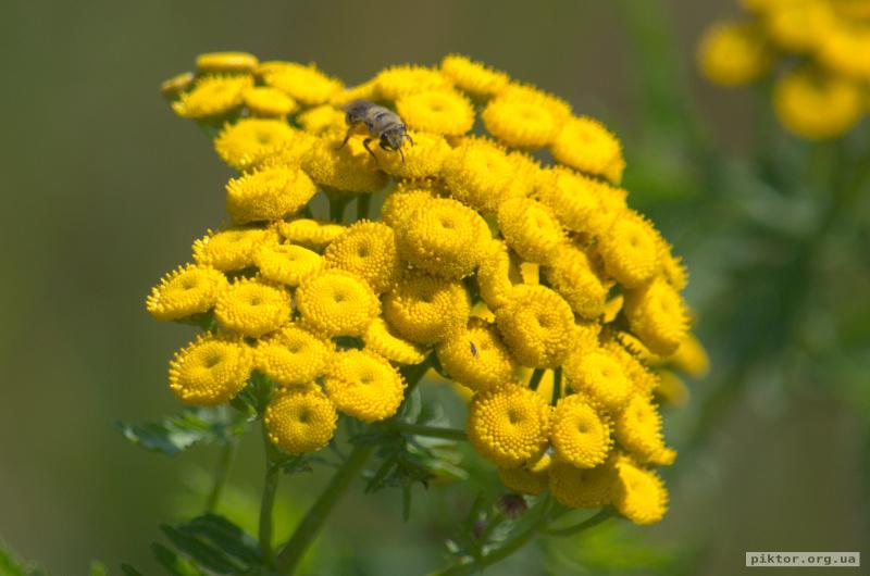 Бджола збирає нектар