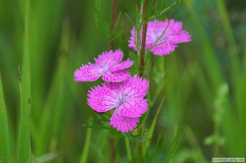 Фіолетові квіти