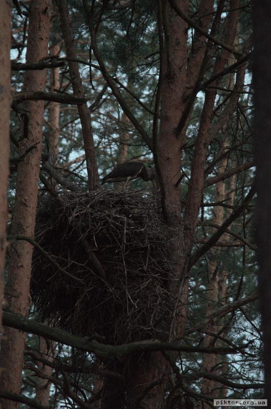 Пташеня чорного лелеки