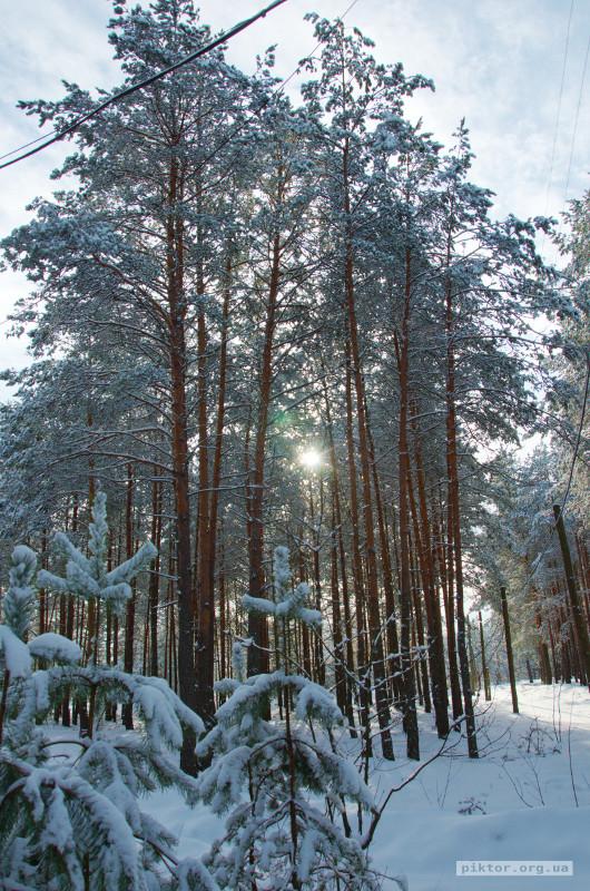 Сосни взимку