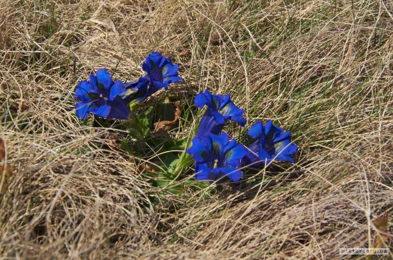 Сині квіточки