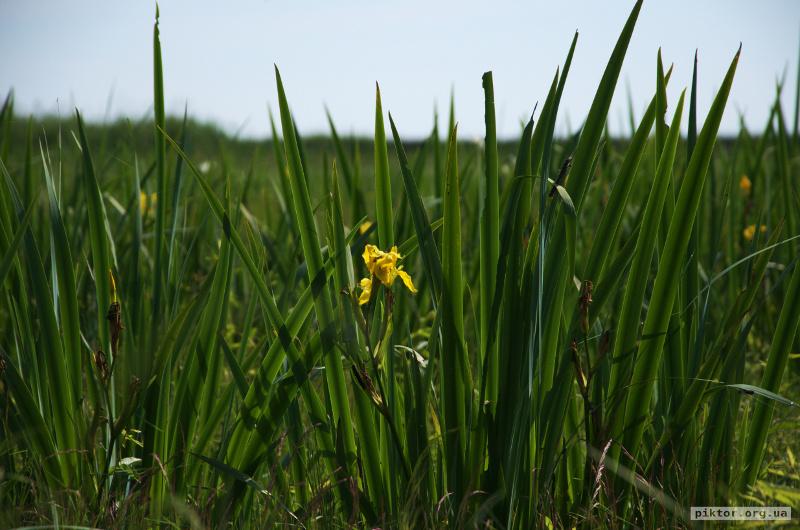 Соковита трава