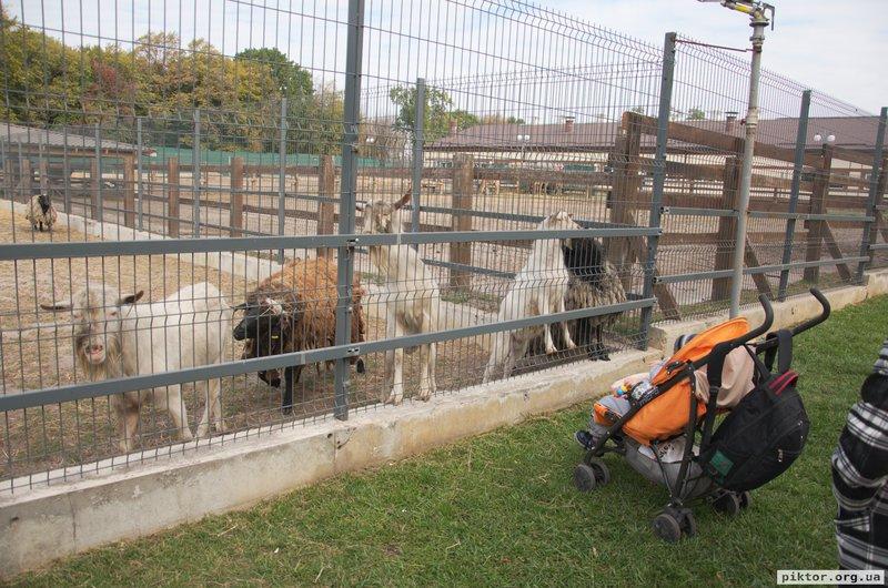 Кози та вівці
