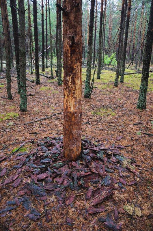 Обкороване дерево