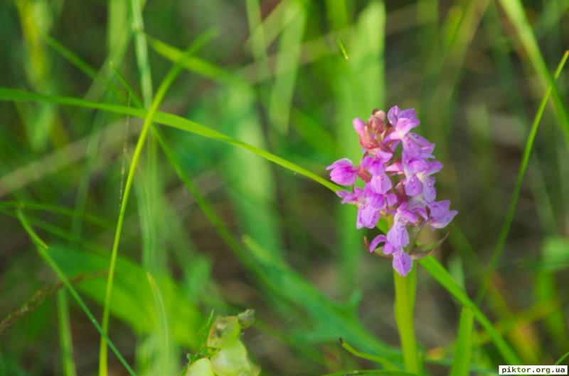 Орхідеї в болоті