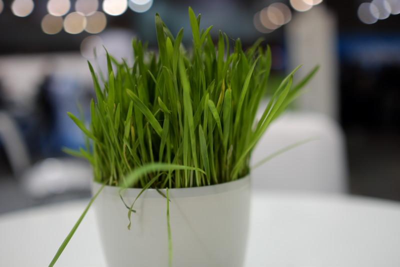 Acer Grass