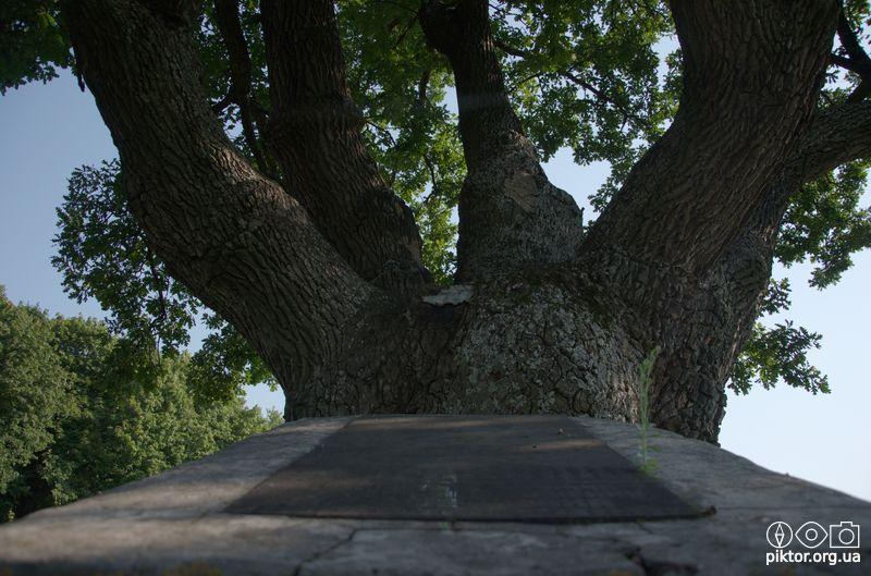 Багатовіковий дуб