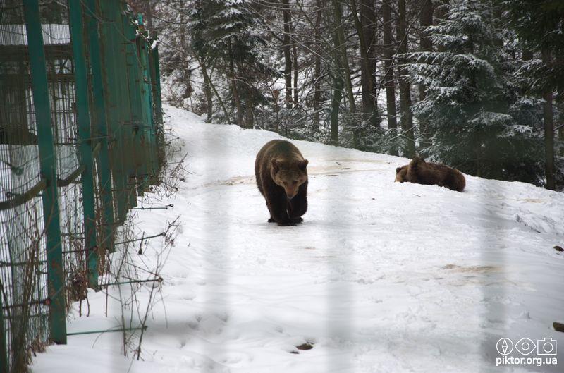 Ведмідь йде