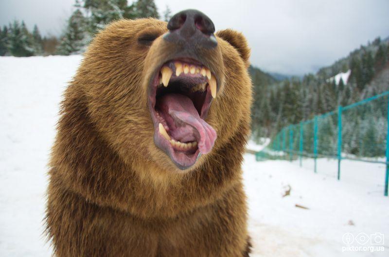 Ведмідь відкрив рота