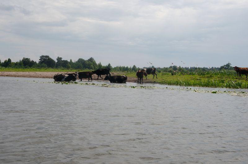 Корови на Прип'яті